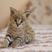 Ручная девочка домашнего сервала из питомника Royal Cats фото