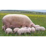 Селатек - подкислитель кормов для свиней. фото