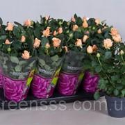 Роза Brandi Hit -- Rose Brandi Hit фото