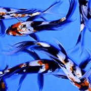 Butterfly Koi-голубой с черными пятнами фото