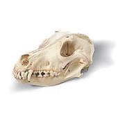 Модель черепа собаки (Canis domesticus) фото