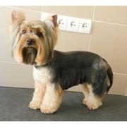 Профессиональная стрижка и тримминг собак и кошек фото