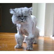 Стрижка собак и котов. Парикмахерская для кошек фото
