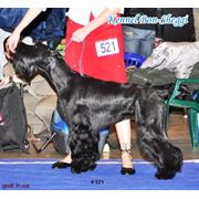 Профессиональный Груминг ! Стрижка собак Всех пород ! Тримминг ! Подготовка собак к выставкам ! фото