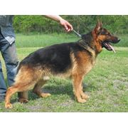 Дрессировка собак, обучение, консультации, воспитание фото