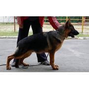 Дрессировка щенков в Николаеве Цена фото