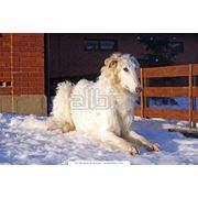 Дрессировка собак по курсу послушание фото