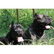 Дрессировка и воспитание собак Корсо фото