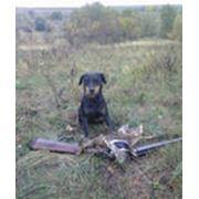 Дрессировка собак для охоты фото