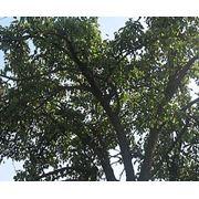 Валка деревьев Донецк область фото