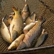 Рыба, продажа живой рыбы, малька, личинки фото