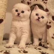 Котята редких и нарядных окрасов  фото