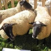 Овцы романовские фото