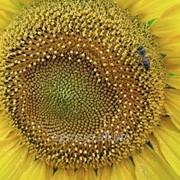 Семена подсолнечника ЛГ 5633 КЛ (LG 56.33 CL) фото
