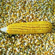 Семена кукурузы фото
