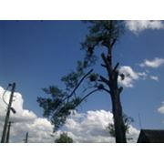 Услуги по обрезке деревьев. Кронирование обрезка подрезка деревьев Киев. Кронировка и уход за деревьями. фото