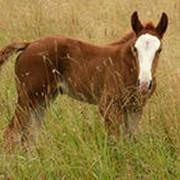 Разведение и продажа лошадей русская тяжевовозная фото