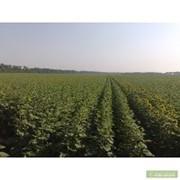 Семена подсолнечника Айтана фото