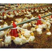 Услуги инкубации птиц фото