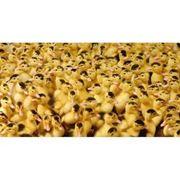 Услуги инкубатора Универсал-50. Инкубация яиц всех видов птицы. фото