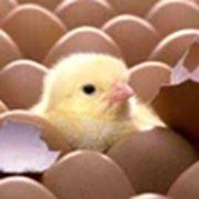 Принимаем яйца водоплавающих на инкубацию фото