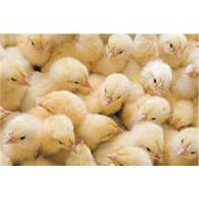 Услуги инкубатора от 10000 шт инкубация птицы инкубация яиц сельскохозяйственной птицы инкубация домашней птицы. фото
