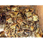 Услуги инкубации птиц принимаем заказы на инкубацию перепелиного яйца фото