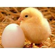 Услуги инкубации птиц. Принимаем заказы на инкубацию разных видов птицы: гуси утки индюки перепел фото