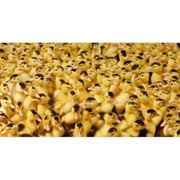 Услуги инкубаторов. Принимаем заказы по инкубированию яиц птицы инкубатор-Универсал-50. Опыт качество. фото