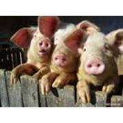 Производство свинокомплексов фото