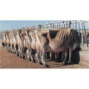 Проведение оценки молочного стада по типу (МЭП) фото