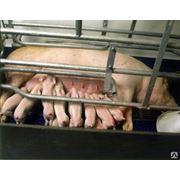 Производство свинокомплексов Свинокомплексы свиньи элитных пород для разведения и на откорм мясо в вакуумной упаковке полутуши. Комбикормовые заводы в кредит на 5 лет под 7%. фото