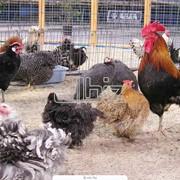 Птица домашняя, продажа молодняка кур, гусей, утей, подрощенные цыплята фото