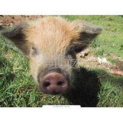 Вопросы физиологии и повышение репродуктивности воспроизводства племенных свиней фото