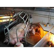 Услуги осеменения свиноматок фото