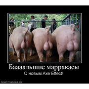 Осеменение свиноматок фото