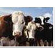 Изготовление комбикормов для крупного рогатого скота фото