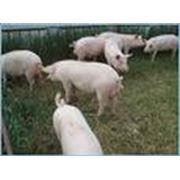 Откорм животных (свиней КРС) и птицы фото
