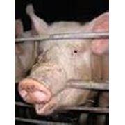 Консультационные услуги по осеменению содержанию и откорму свиней. фото