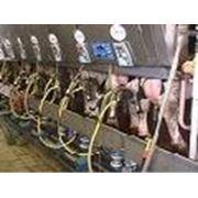 Монтаж линейных доильных установок и доильных залов. Поставки и монтаж молокопровода доильных установок и доильных залов охладителей молока от производителя DeLaval (Швеция) фото