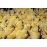 Кормление мясных цыплят фото