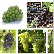 Выращивание новых сортов винограда фото