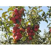 Выращивание овощей фруктов ягод. Реализуем зимние сорта яблок Симиренка АйдаретДжонаголд Флорина фото