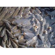 Зарыбления и выращивания малька и товарной рыбы. фото