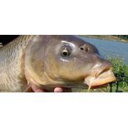 Разведение пресноводной рыбы рыбопосадочный материал Украина фото
