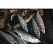 Вылов рыбы в Черном море фото