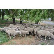 Племенное животноводство в Донецкой области продажа племенных овец продажа баранов мясной породы фото