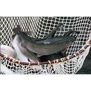 Рыба речная живая оптом. Осетр Форель Царская рыба от фермерского хозяйства Ишхан фото