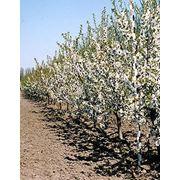 Технологии выращивания плодовых культур фото
