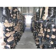 Организация производства грибов вешенки фото